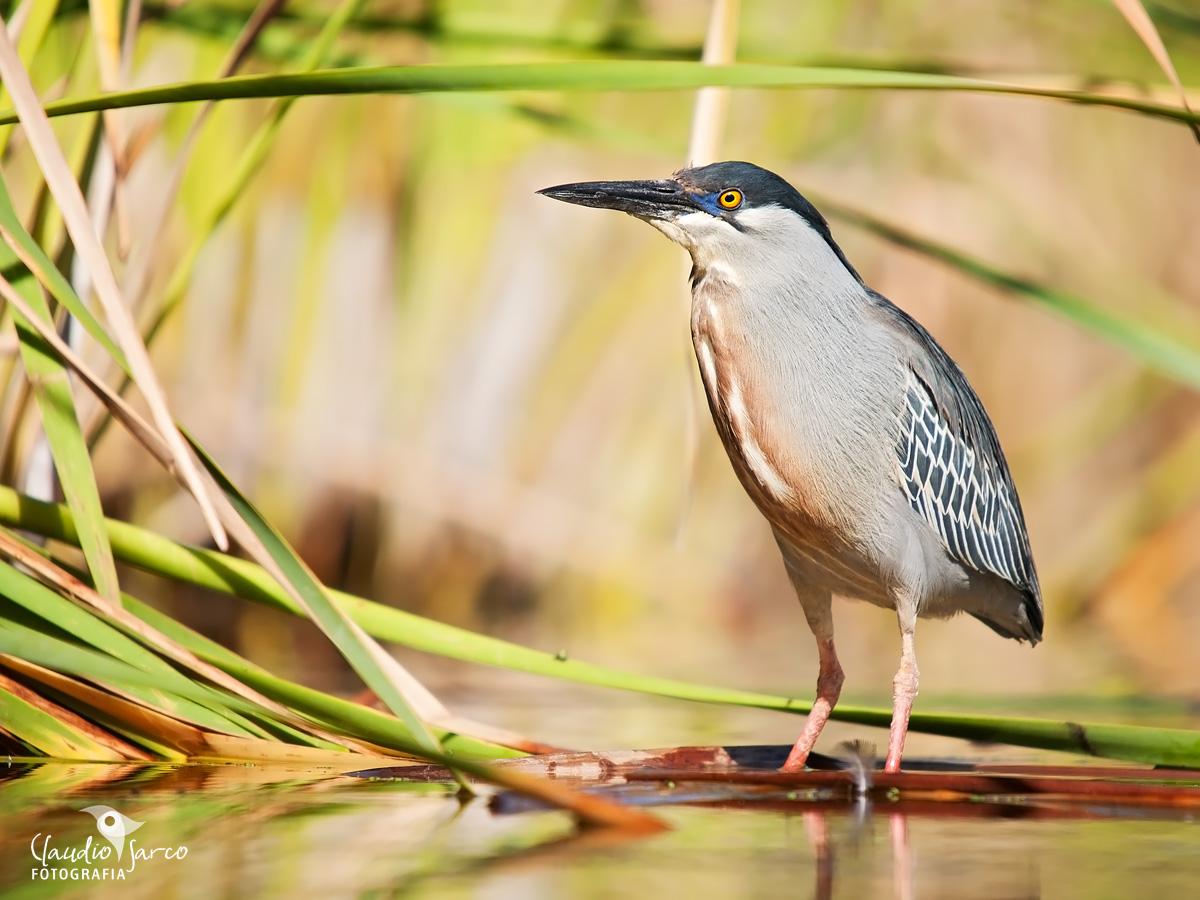 Garcita azulada / Striated Heron
