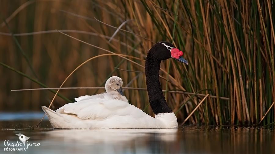 Cisne de Cuello Negro / Black-necked Swan